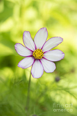 Asters Photograph - Cosmos Candy Stripe by Tim Gainey