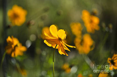Photograph - Cosmos by Dave Gordon