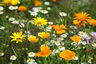Close Focus Nature Scene Photograph - Cosmos Flowers by King Wu