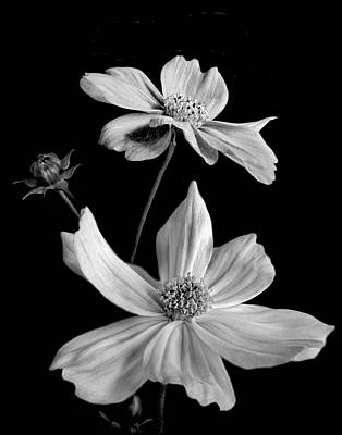 Photograph - Cosmos In Monochrome by David and Carol Kelly