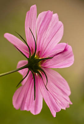 Photograph - Cosmos In Pink by Diane Fifield