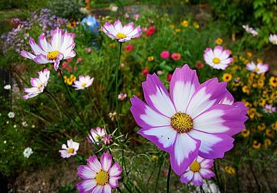 Photograph - Cosmos In The Garden by MTBobbins Photography