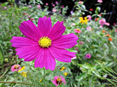 Photograph - Cosmos In The Wild Garden by MTBobbins Photography