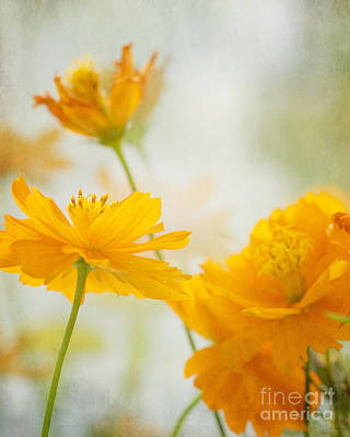 Tangy Photograph - Cosmos by Ivy Ho