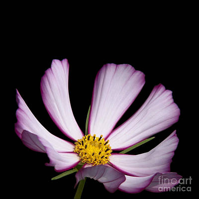 Bloom Photograph - Cosmos by Judy Whitton