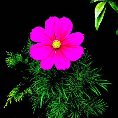 Painting - Cosmos Pink On Black 2 by Andi Oakes