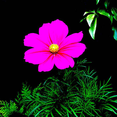 Painting - Cosmos Pink On Black by Andi Oakes