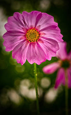 Photograph - Cosmos Portrait In The Rain by  Onyonet  Photo Studios
