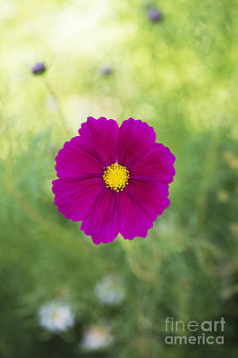 Asters Photograph - Cosmos by Tim Gainey