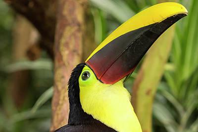 Toucan Photograph - Costa Rica Black-mandible Toucan Credit by Jaynes Gallery