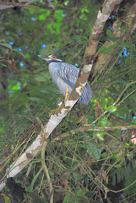 Photograph - Costa Rica Heron by Michael Gooch