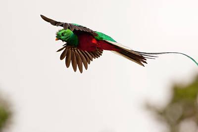 Quetzal Photograph - Costa Rica Resplendent Quetzal by Jaynes Gallery