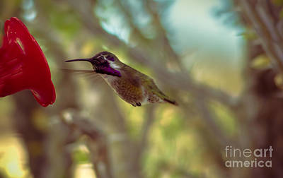Photograph - Costa's Feeding Time by Robert Bales