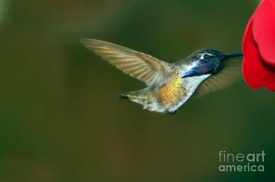 Photograph - Costa's Hummingbird Feeding by Robert Bales