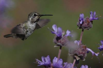 Photograph - Costa's Hummingbird by Joe Sweeney