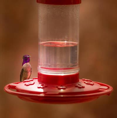 Photograph - Costa's Hummingbird Keeping Guard by  Onyonet  Photo Studios