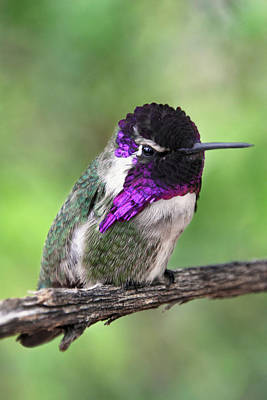 Photograph - Costa's Hummingbird by Theo