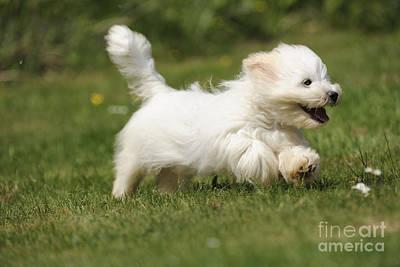 Coton Tulear Photograph - Coton De Tulear Dog by John Daniels