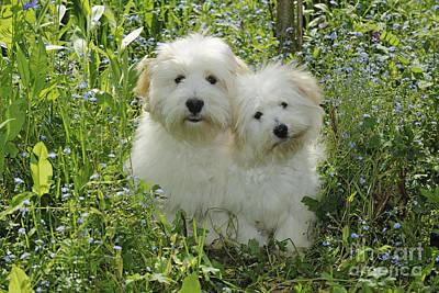 Coton Tulear Photograph - Coton De Tulear Dogs by John Daniels
