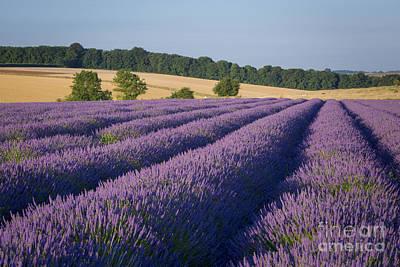 Lavender Fields Photograph - Cotswolds Lavender by Brian Jannsen