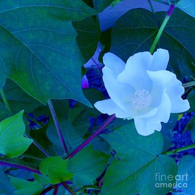 Cotton Blossom Art Print