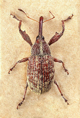 Boll Photograph - Cotton Boll Weevil by Natural History Museum, London