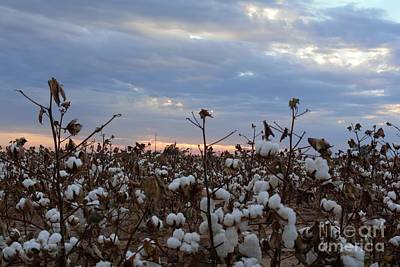 Photograph - Cotton Field by Lne Kirkes