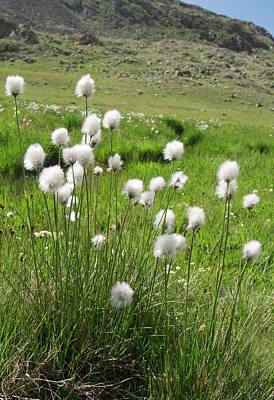Wild Turkey Photograph - Cotton Grass On A Mountainside by Bob Gibbons