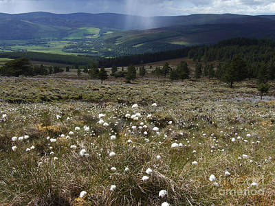 Photograph - Cotton Grass - Strathspey by Phil Banks