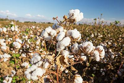 Cotton Growing In California Art Print