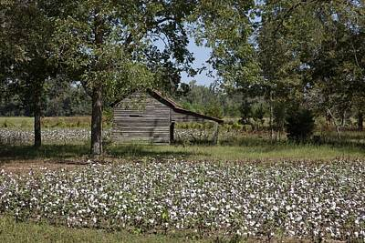 Soothing Photograph - Cotton In Rural Alabama by Mountain Dreams