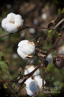 Photograph - Cotton Plant by Jeanne  Woods
