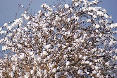 Cotton Snow Art Print by Carol Lynch