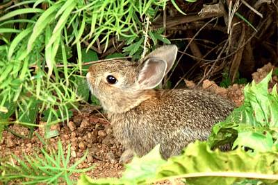 Photograph - Cotton-tail Rabbit by Marilyn Burton