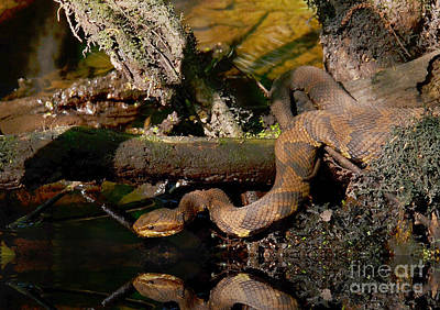 Photograph - Cottonmouth In The Cypress Swamps by Kathy Baccari