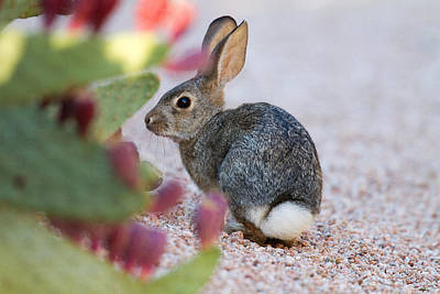 Photograph - Cottontail by Bob Kemp