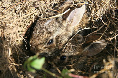 Photograph - Cottontail Kits by Neal Eslinger