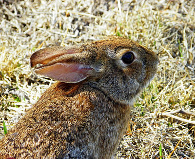 Photograph - Cottontail Portrait by Judy Wanamaker