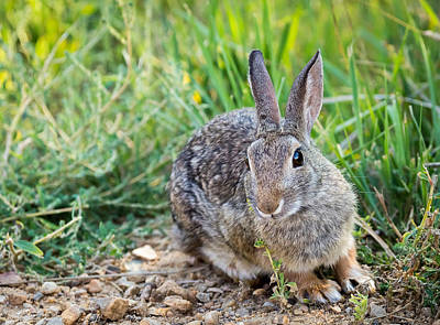 Photograph - Cottontail Rabbit by Michael Chatt