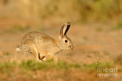 Photograph - Cottontail Rabbit by Scott Linstead
