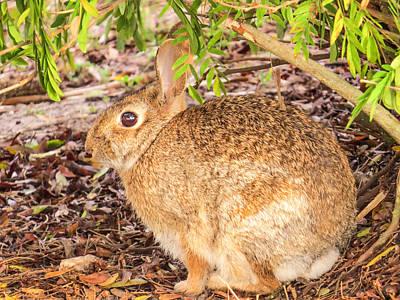 Rabbit Photograph - Cottontail Rabbit by Zina Stromberg