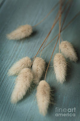 Dried Photograph - Cottontails On Blue by Jan Bickerton