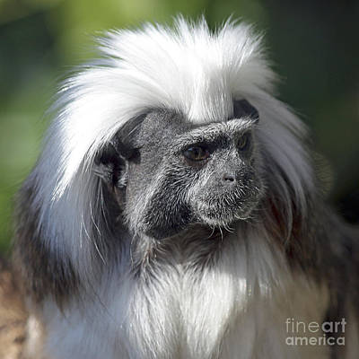 Photograph - Cottontop Tamarin Saguinus Oedipus by Terri Waters