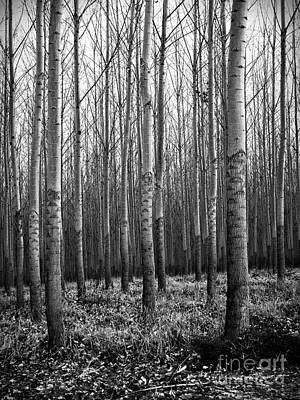 Photograph - Cottonwood Forest by Chalet Roome-Rigdon