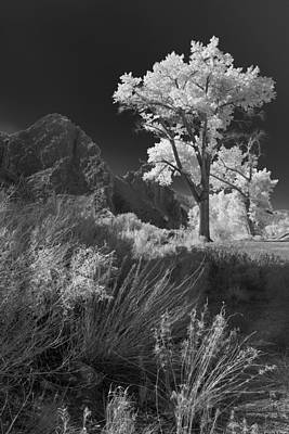 Photograph - Cottonwood In Mono by Jim Snyder