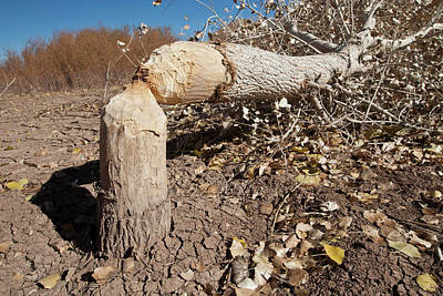 Gnawing Photograph - Cottonwood Tree Cutting By Beavers, New by Larry Ditto