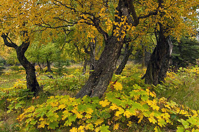 Wood Turning Photograph - Cottonwood Trees And Devils Club by Carl Johnson