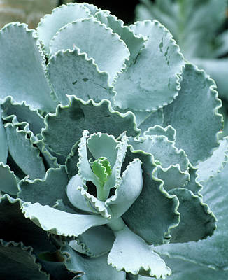 Cotyledon Undulata Foliage Art Print by Andrew Cowin/science Photo Library