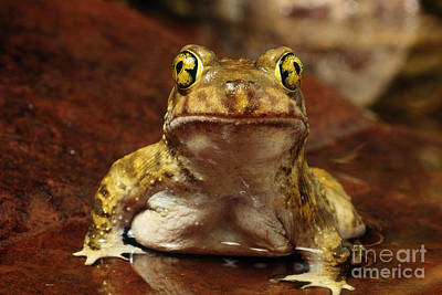 Photograph - Couchs Spadefoot Toad by C K Lorenz
