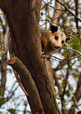 Opossum Photograph - Coucou by Nikolyn McDonald